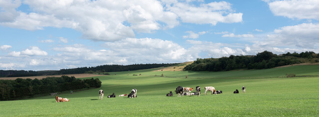 german eifel landscape with cows in meadows and fields