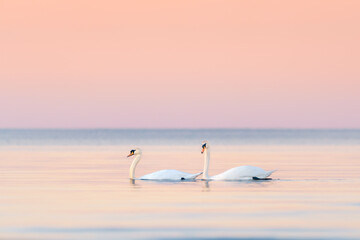 two swans in sunset on the peaceful sea