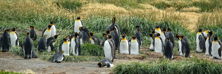 Colony of King penguins of ocean coastline in Chile