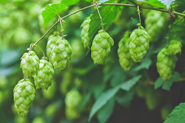 green branches of hops in natural light