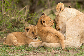 Wall Mural - Lioness and her cubs, Masai Mara