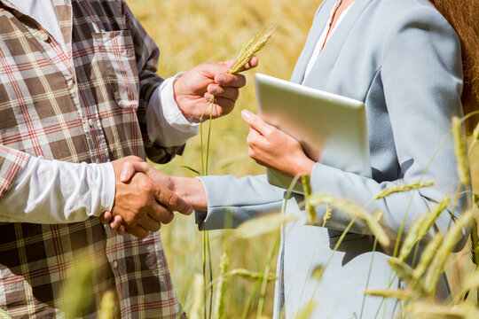 An agronomist showing the quality of grain crops to a businesswoman with tablet in a rye field. Teamwork of a farmer and a business woman in agriculture.
