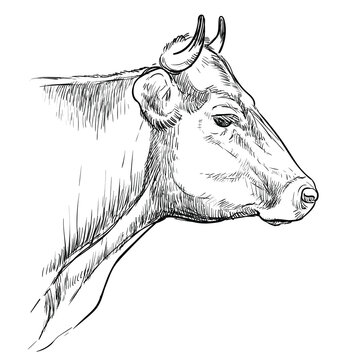 Monochrome thoughtful head of bull sketch hand drawn vector illustration isolated on white background. Engraving sketch illustration for label, poster, package design, print and design.