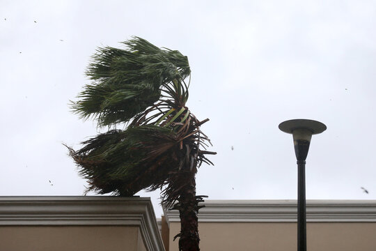 A palm tree sways in the wind during Hurricane Sally in Mobile