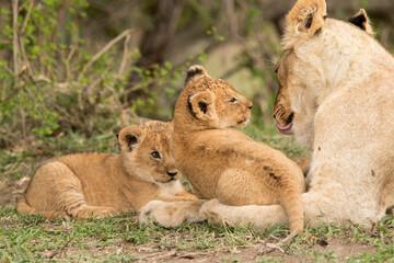 Wall Mural - Lioness with her cubs at Masai Mara, Kenya