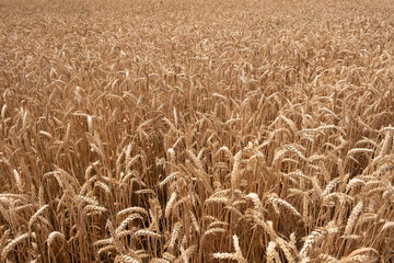 Wheat field. Ears of golden wheat close up. Rich harvest Concept.