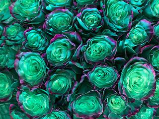 Dark blue green   roses background