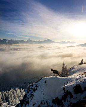 Chamois (Rupicapra rupicapra) standing at edge of snowcapped mountain peak at foggy sunrise