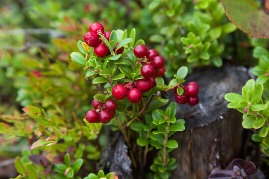 Red ripe lingonberry or cowberry on natural forest background