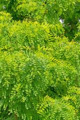 Blätter der Robinie, Robinia pseudoacacia