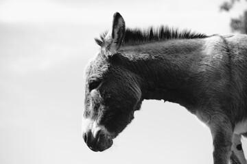 Mini donkey portrait in profile view, rustic black and white farm animal.