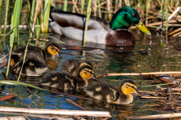 Mallard ducklings swimming amongst reeds in spring sunshine
