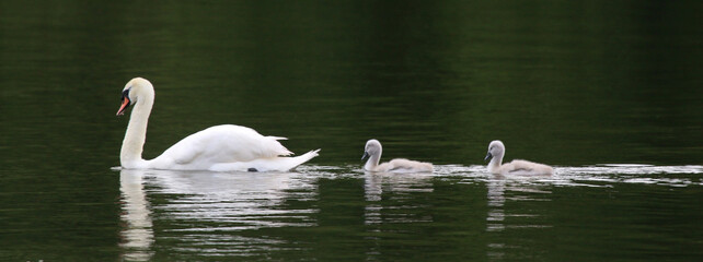 Swan and cygnets on a lake
