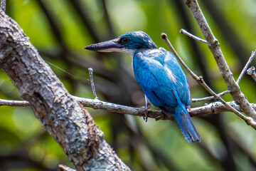 Collared kingfisher (Todiramphus chloris) a common bird which could be find in mangrove forest,river and swamp.