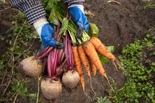 Harvesting organic vegetables. Autumn harvest of fresh raw beetroot and carrot in farmer hands in garden