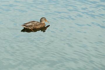 dzika kaczka na lekko pofalowanej wodzie jeziora, która jest jednocześnie tłem kompozycji, brak innych elementów krajobrazu