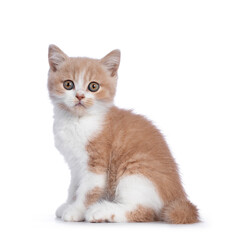 Wall Mural - Cute creme with white bicolor British Shorthair cat kitten, sitting side way. Looking towards camera with mesmerizing green / orange eyes. Isolated on a white background.