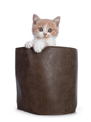 Wall Mural - Cute creme with white bicolor British Shorthair cat kitten, sitting in brown leather bag with paws on  the edge. Looking towards camera with mesmerizing green / orange eyes. Isolated on a white backgr