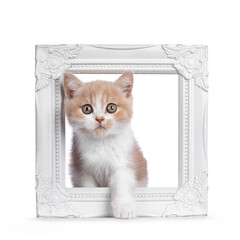 Wall Mural - Cute creme with white bicolor British Shorthair cat kitten, sitting in white photo frame. Looking towards camera with mesmerizing green / orange eyes. Isolated on a white background.