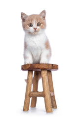 Wall Mural - Cute creme with white bicolor British Shorthair cat kitten, sitting on little wooden stool. Looking towards camera with mesmerizing green / orange eyes. Isolated on a white background.