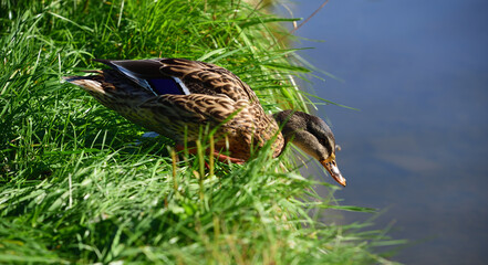 A small brown duck is sitting in the green grass and is about to jump into the water
