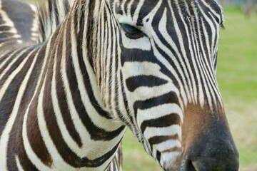 zebra in zoo, photo as a background