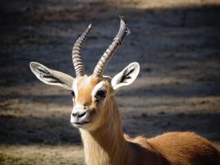 Pequeño antilope