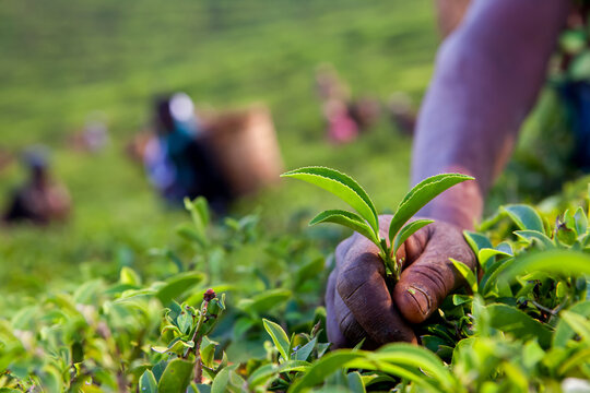 Close-up of a person picking tea leaves in Malawi