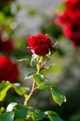 Rote Rose Blüte Blume Liebe Sinnbild Zeichen Erotik Antrag Botanik Garten Schönheit Inbegriff Hochzeit Paar Dornen Stiel Blätter Gegenlicht selektive Schärfe zart Königin Knospen Farbe Reinheit Treue
