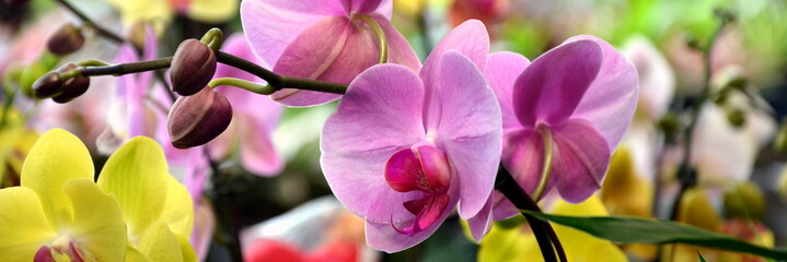 Orquídeas venezolanas