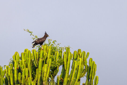 Long-crested Eagle ( Lophaetus occipitalis) perched on a tree, Queen Elizabeth National Park, Uganda.