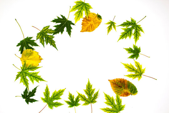 Frame from green leaves of Silver Maple tree (Acer Saccharinum) and other yellow leaves isolated on white background. Background with copy space