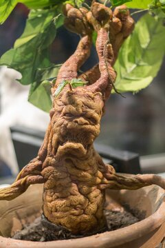 Mandrake in a pot