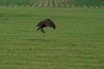 Vulture Landing in a Field