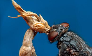 Fond de hotte en verre imprimé Papillon Close up of pair of Beautiful European mantis ( Mantis religiosa ) feasting on fly.