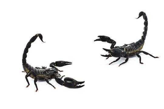 scorpion isolated on white