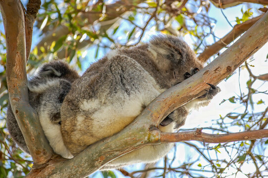 A cute koala and its joey sleeping in the fork of a native gum tree.This arboreal Australian marsupial has a slow metabolism rate and sleeps for 20 hours a day. It looks bear-like, but is not a bear.