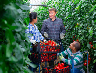 Three farmers engaged in ripe tomatoes harvesting in greenhouse, friendly talking during break