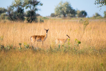 Photo sur Plexiglas Roe roe deer herd with cub between trees and high yellow-green grass in the summer wild prairie