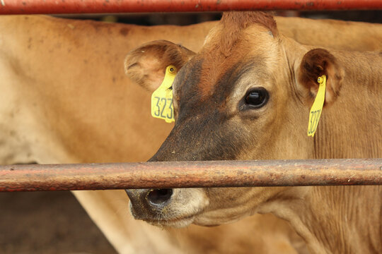Burps to burgers: global food companies wrangle cattle emissions problem