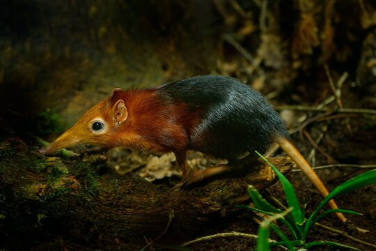 Black and rufous elephant shrew, Rhynchocyon petersi, small cute animal with long muzzle and long bare tail. Sengi in the nature forest habitat, Tanzania in Africa. Little mammal, wildlife Africa.