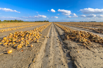Rows of onions