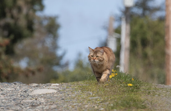 Clsoeup shot of manx cat in the forest