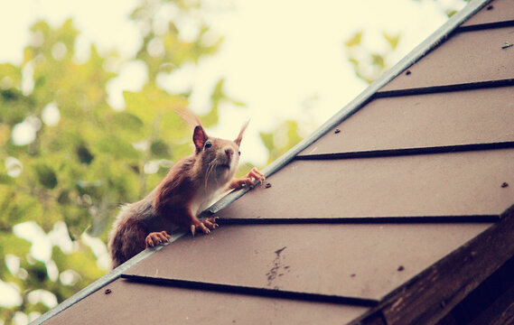 squirrel on the roof of the house