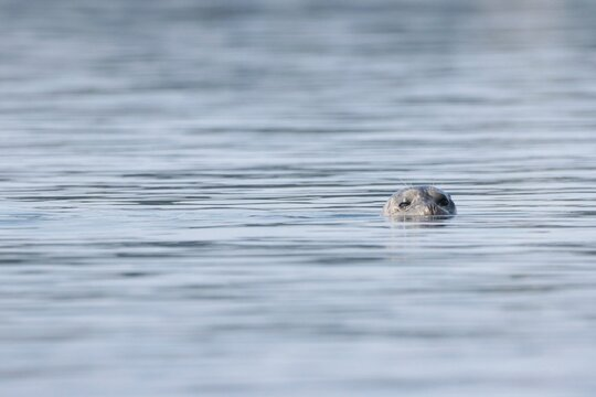 Harbor seals swimming and sunning themselves on warm summer day in Bellingham Bay