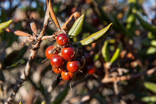 Closeup mission manzanita fruit on bush