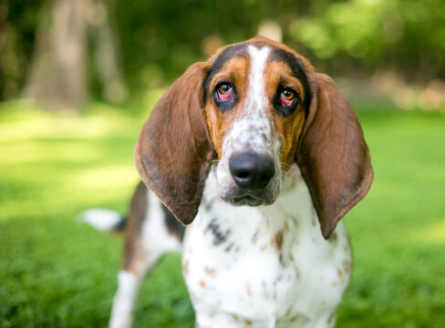 A Bassett Hound dog with ectropion or drooping eyelids