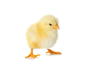 Cute fluffy baby chicken on white background. Farm animal