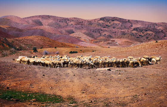 Beautiful nature view, a herd of domestic sheep free grazing in the desert field and distant colorful hills in the light of the setting sun. Fes (Fez) region, Morocco, North West Africa