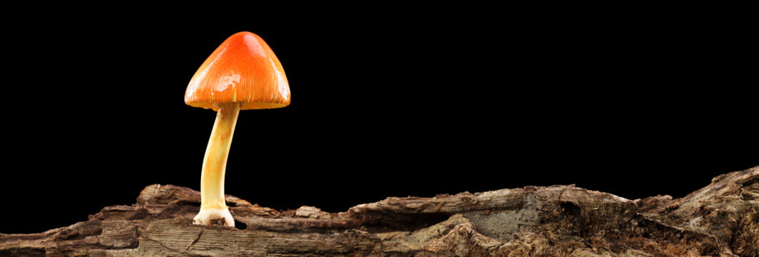 Orange and yellow mushroom on old wooden log isolated on black.